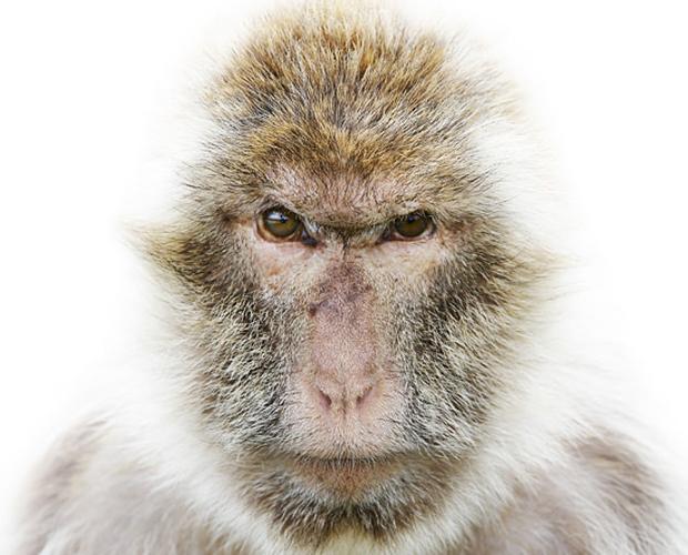 Um macaco-de-gilbratar fotografado pelo dinamarquês Morten Koldby (Foto: Morten Koldby/BBC)