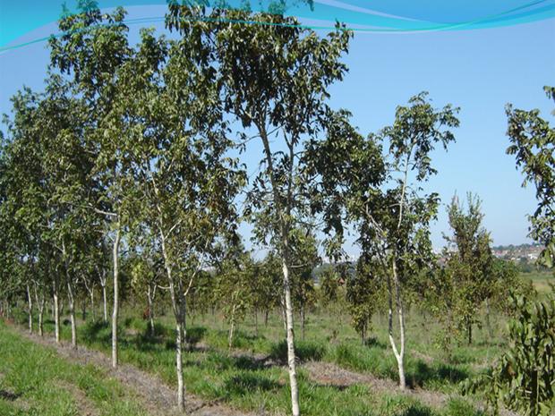 Baru é uma árvore típica do cerrado (Foto: UFG)