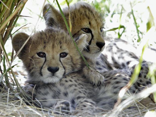 guepardos3 (Foto: Jacquelyn Martin/AP)