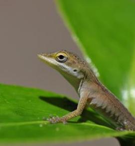 lagarto anole-verde (Foto: Reprodução/Nature)