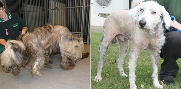 Veterinários removeram 13 quilos de pelo do cão. (Foto: Divulgação)
