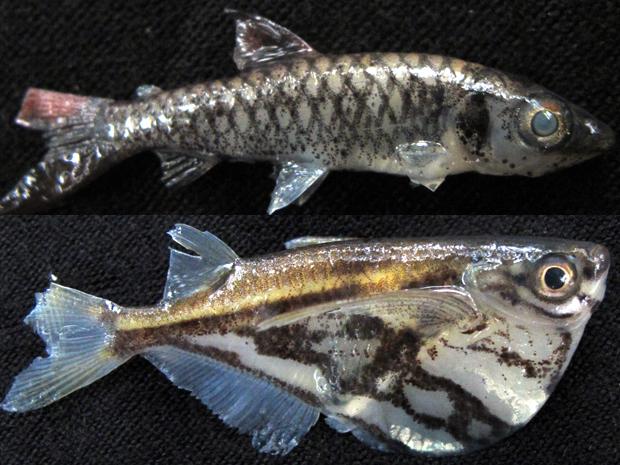 Peixes coletados durante expedição que pode ter descoberto quatro novas espécies de peixes (Foto: Juvenal Pereira/WWF-Brasil)