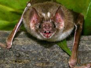 Morcego derrame 1 (Foto: BBC)