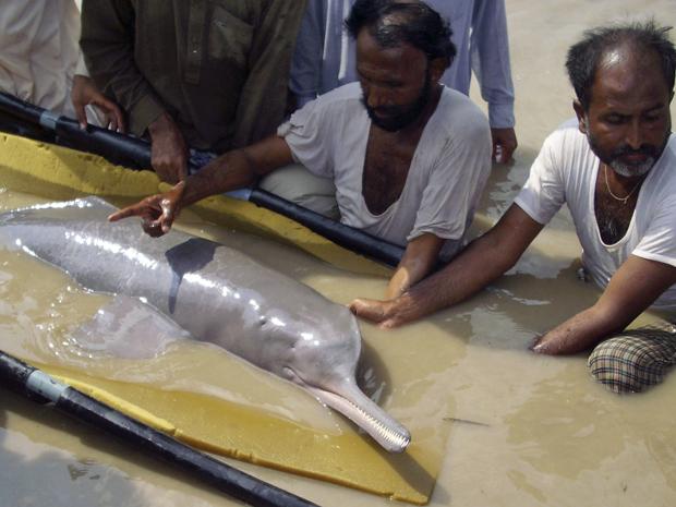 Ambientalistas seguram um golfinho-do-ganges para levá-lo de volta ao Rio Indo, no Paquistão (Foto: Pervez Khan/AP)