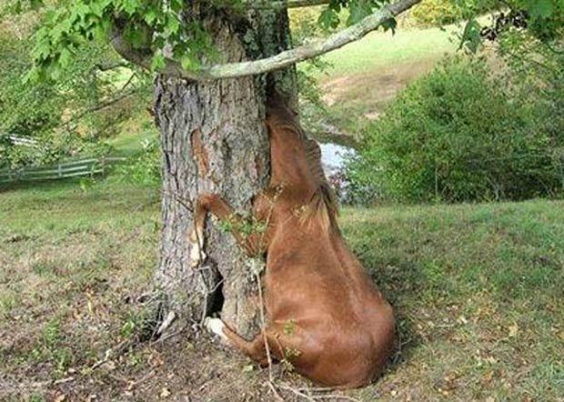 Em 2008, a égua chamada 'Gracie' precisou de ajuda após ficar com a cabeça entalada em uma árvore. A cena aconteceu em Pullman, nos EUA. (Foto: Reprodução)