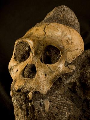 Crânio de um jovem 'Au. sediba' (Foto: Brett Eloff / cortesia de Lee Berger e da Universidade de Witwatersrand)