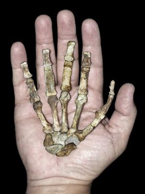 Mão direita de fêmea 'Au. sediba' adulta, comparada à de um humano (Foto: Peter Schmid / cortesia de Lee Berger e da Universidade de Witwatersrand)