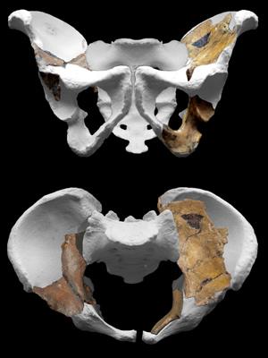 Fóssil da pélvis do 'Au. sediba' (Foto: Peter Schmid / cortesia de Lee Berger e da Universidade de Witwatersrand)