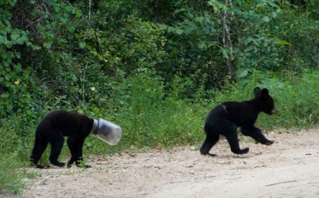 Em agosto de 2010, um urso foi flagrado na Flórida (EUA) com um frasco de plástico entalado na cabeça.  (Foto: AP)