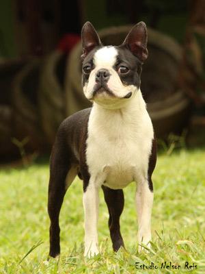Boston Terrier (Foto: Estudio Nelson Reis/Canil  Passarelli/Divulgação)