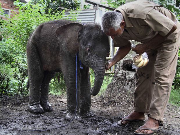 elefante na Índia (Foto: Anupam Nath/AP)