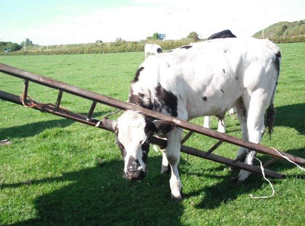 Em agosto de 2011, uma vaca foi encontrada com a cabeça entalada em uma escada em uma fazenda em Troon, Ayrshire, na Escócia. (Foto: Divulgação/SPCA)