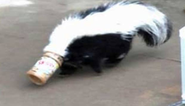 Em outubro de 2009, um gambá entalou a cabeça em um pote depois de tentar lamber a pasta de amendoim que havia no interior do frasco. A cena curiosa aconteceu na cidade de Bixby, no estado de Oklahoma (EUA). (Foto: Reprodução)