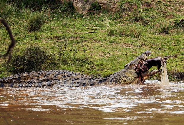 Crocodilo de mais de 6 metros foi flagrado devorando presa em rio. (Foto: Paolo Torchio/Barcroft USA/Getty Images)