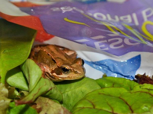 Sara Eason encontrou sapo vivo salada comprada em supermercado londrino. (Foto: Jules Annan/Barcroft Media/Getty Images)