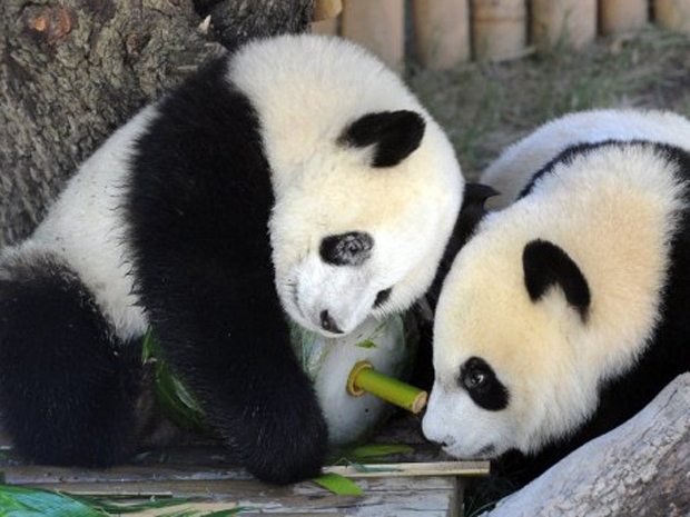 Panda (Foto: Dominique Faget/AFP)
