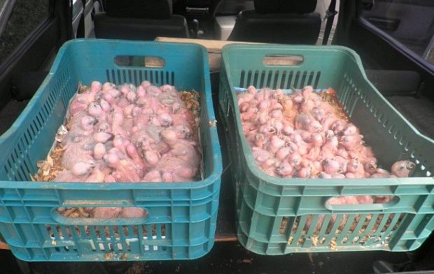 Suspeito de tráfico de animais é preso com 141 filhotes de papagaio em MS (Foto: Divulgação/PM)