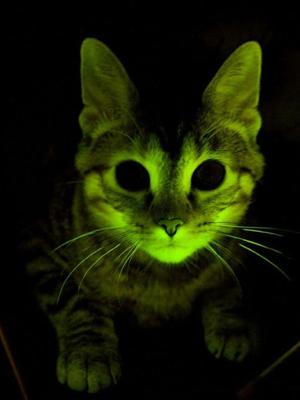 Um dos gatos com material genético extraído de águas-vivas e macacos. (Foto: Mayo Clinic)