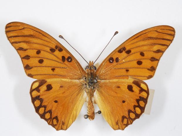 'Agraulis vanillae', outra espécie de borboleta da coleção do Instituto Oswaldo Cruz (Foto: Rodrigo Méxas/IOC)