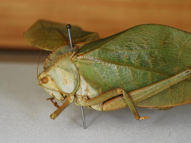 Uma esperança, como são conhecidos os insetos da família 'Tettigoniidae' (Foto: Rodrigo Méxas/IOC)