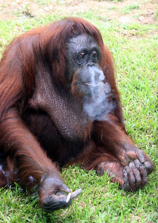 Um oficial da autoridade ligada à vida selvagem da Malásia afirmou nesta segunda-feira (12) que a orangotango Shirley, que ficou conhecida pelo hábito de fumar, está sendo forçada a largar o vício. Ela ficou conhecida por fumar cigarros oferecidos por visitantes no zoológico de Johor Bahru. A foto é de janeiro de 2010. Shirley foi retirada por autoridades malaias de um zoológico estatal porque ela e outros animais estavam vivendo em condições ruins, e agora ela passa por um quarentena em outro zoológico. A expectativa é de que ela seja enviada para um centro de vida selvagem na ilha de Bornéu nas próximas semanas. (Foto: AP)