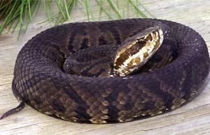 Idoso tentou matar uma cobra boca de algodão quando se feriu. (Foto: Reprodução)