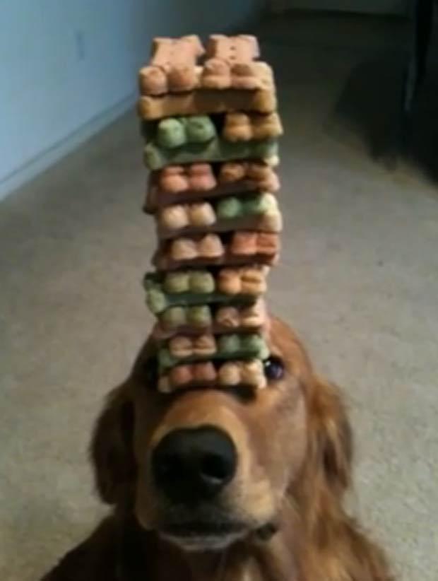 Cão equilibra biscoitos caninos sobre a cabeça. (Foto: Reprodução)