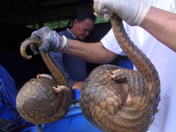 Imagem de outubro de 2010 mostra a apreensão de pangolins em uma casa na Tailândia (Foto: AP)