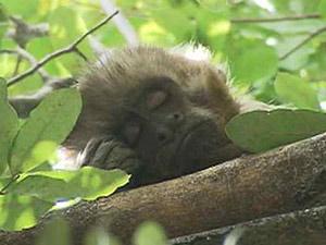 Macaco-prego Chico fugiu de parque na segunda-feira, no Recife (Foto: Reprodução/TV Globo Nordeste)