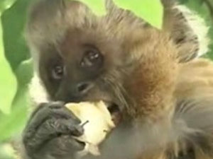 Macaco Chico come banana com sedativo após fuga no Recife (Foto: Reprodução/TV Globo Nordeste)
