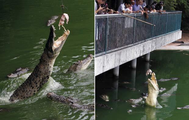Crocodilos chegam a saltar mais de um metro para abocanhar a refeição. (Foto: Sukree Sukplang/Reuters)
