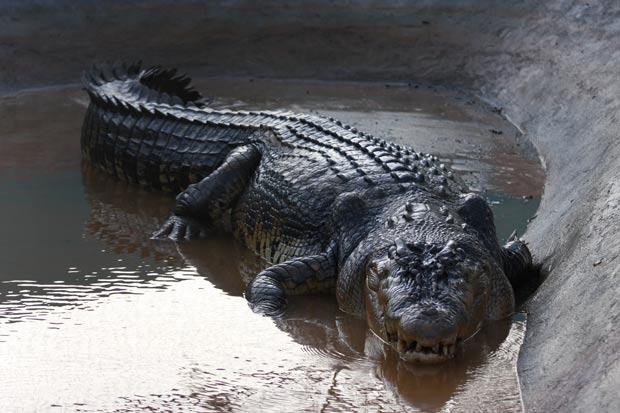 'Lolong', de 6,4 metros, foi capturado em 3 de setembro.  (Foto: Jeoffrey Maitem/Getty Images)