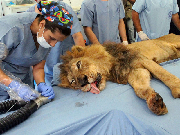 Veterinária manuseia equipamento que será utilizado no tratamento dentário do leão Tyson, nesta quinta-feira (15) em Medellin, na Colômbia (Foto: Albeiro Lopera/Reuters)