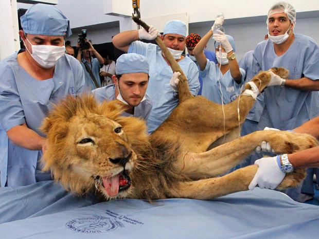 Com 20 anos, o leão Tyson é anestesiado para receber tratamento dentário em clínica veterinária de Medellin, na Colômbia. O animal vive no zoológico Santafe (Foto: Albeiro Lopera/Reuters)