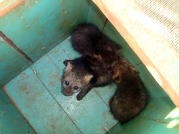 PMA transporta filhos de cachorro do mato em Mato Grosso do Sul (Foto: Divulgação/PMA)