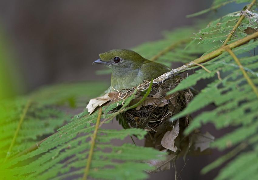 Espécime fêmea de soldadinho-do-Araripe em um ninho, em região preservada no Ceará (Foto: Divulgação/Ciro Albano)