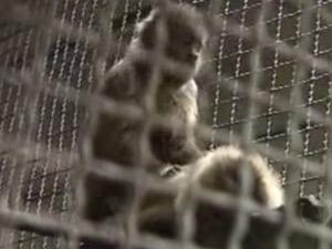 Macaco-prego Chico foi capturado por manicure, que ofereceu pipoca para ele (Foto: Reprodução/TV Globo Nordeste)