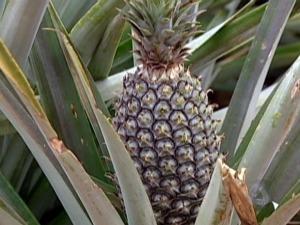 produção de abacaxi em Ivinhema MS (Foto: Reprodução/ TV Morena)