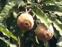 Veja como produzir a muda da castanha do pará (Foto: Divulgação/Globo Rural)