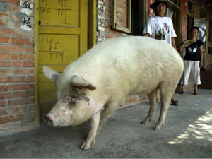 Seis filhotes idênticos foram gerados a partir do DNA de Zhu Jiangqiang, um animal de 150 quilos apelidado de ''o porco de boa vontade'' (Foto: AP Photo / via BBC)