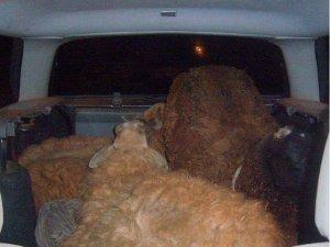 Carneiros estavam amontados no porta-malas de um carro em Aparecida do Taboado, MS (Foto: Divulgação/Polícia Civil)