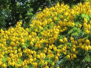 Flores amarelas dão vida às ruas paulistanas (Foto: Fabiano Correia/ G1)