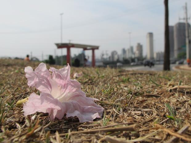 Árvores cheias de flores espalham exemplares pelo chão (Foto: Fabiano Correia/ G1)
