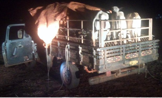 Caminhonete que transportava oito bezerros furtados em Aparecida do Taboado, em MS (Foto: Divulgação/Polícia Civil)