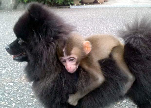 Macaco bebê tem andado agarrado nas costas e barriga de  'Goma'. (Foto: Kyodo News/AP)