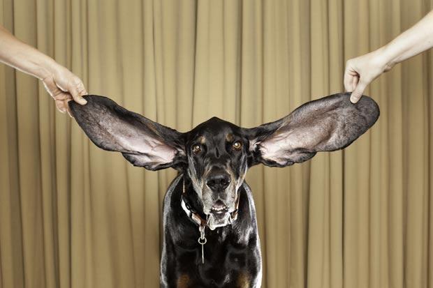 O cão chamado 'Harbor' tem as orelhas caninas mais longas do mundo. A orelha esquerda de 'Harbor' mede 31,11 centímetros, enquanto a direita tem 34,29 centímetros. (Foto: AP)