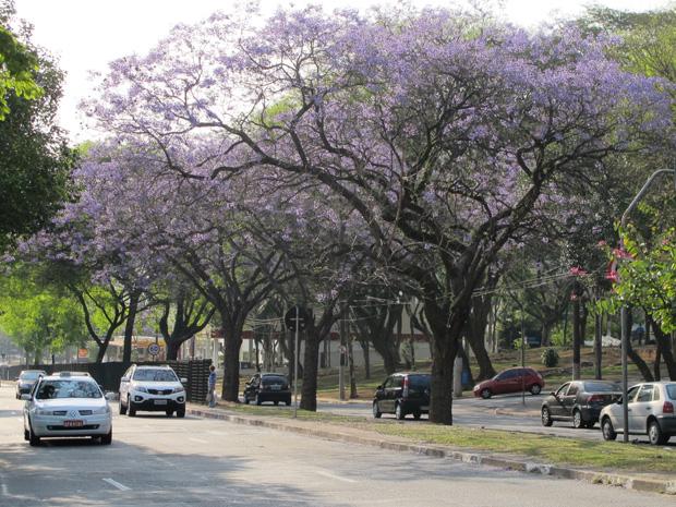 Ipês e jacarandás colorem de roxo ruas de São Paulo (Foto: Fabiano Correia/ G1)