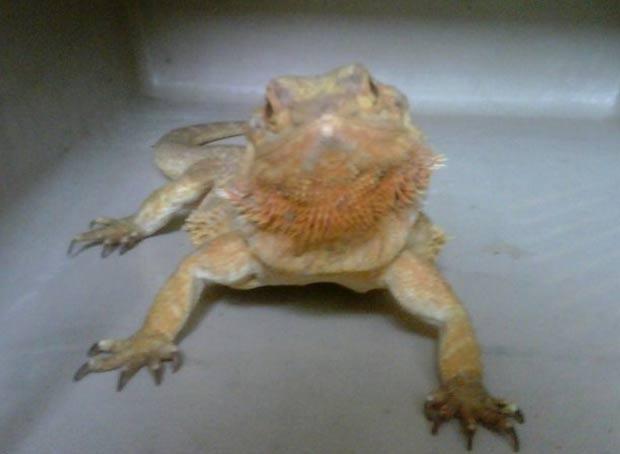 Dragão barbudo foi abandonado em banheiro de supermercado em Edimburgo. (Foto: Divulgação/Scottish SPCA)