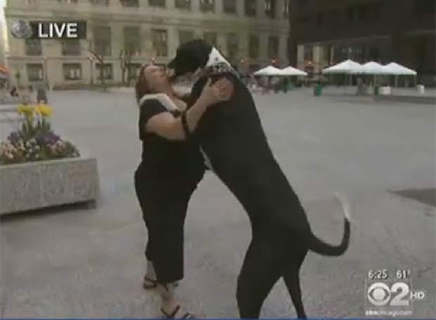 Animal da raça Great Dane, 'Nova' chega a 1,80 metro em pé. (Foto: Reprodução/CBS)