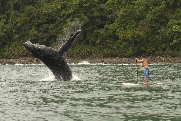 Surfista remou a poucos metros de baleia jubarte em Nuqui. (Foto: Dan Merkel/Barcroft Media/Getty Images)